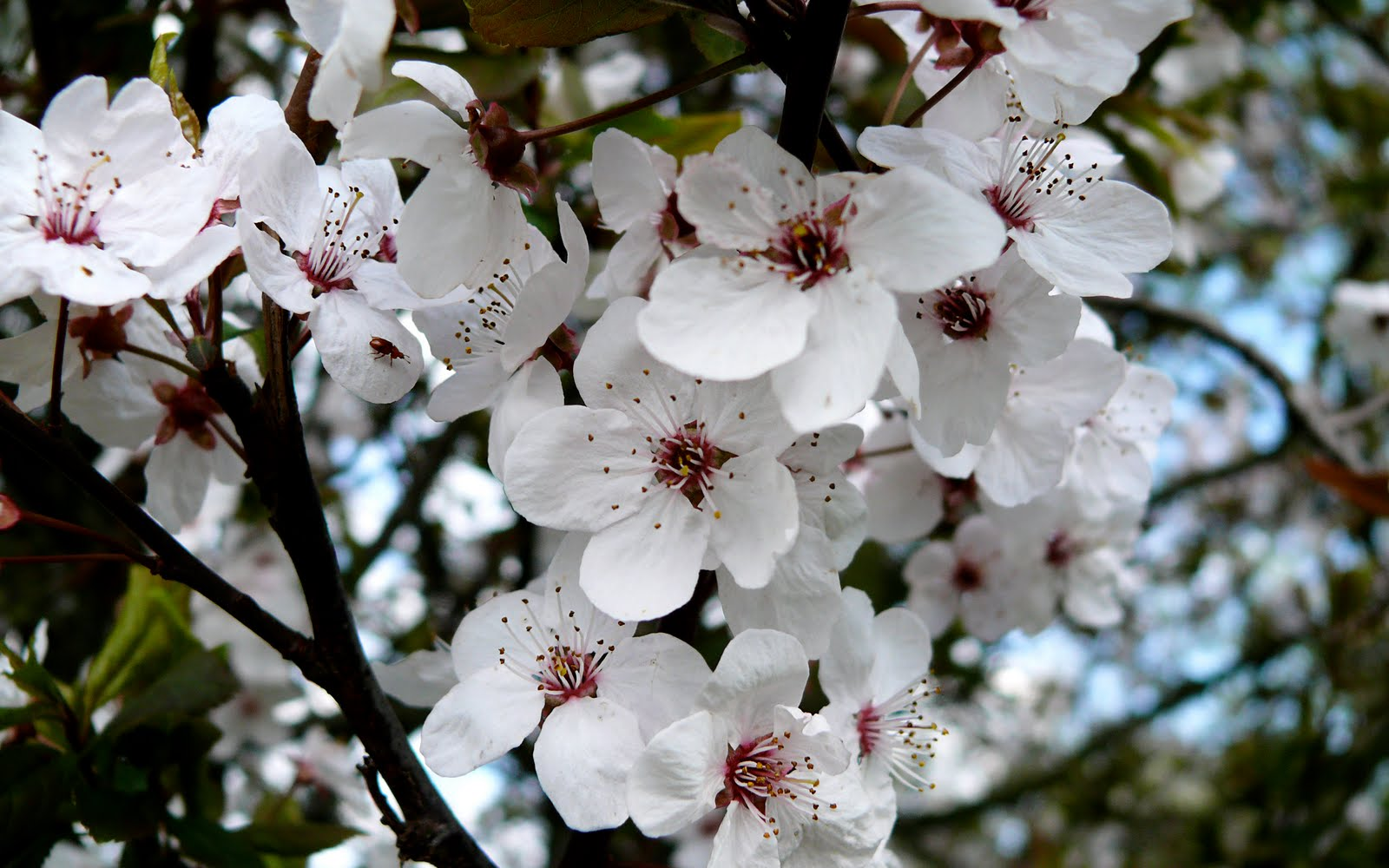 Wallpapers Box: The Best Spring Cherry Blossom High ...