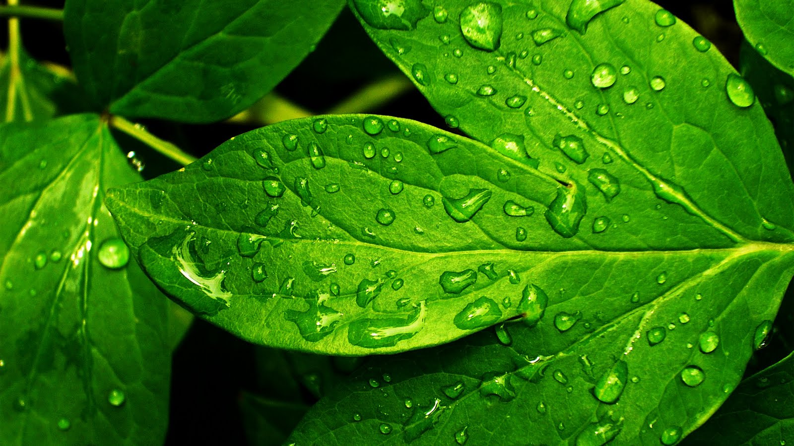 Fresh Raindrops On Green Leafs HD Wallpapers