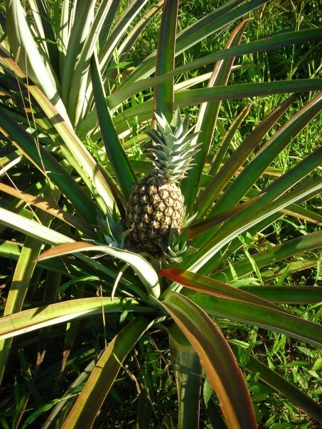 Vista farm to table project suny delhi pineapples grow in for Pineapple in the ground