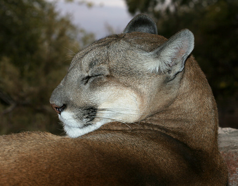 mountain lion sleeping