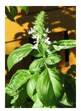 basil to eliminate body odor