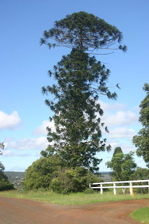how to eat bunya pines