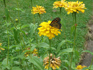monarch butterfly on volunteer zinnia