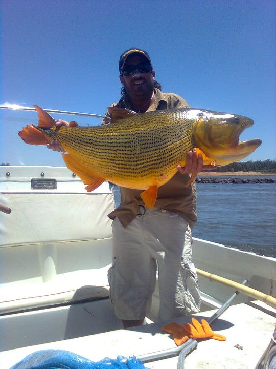 The fishing news la zona golden dorado for Golden dorado fish