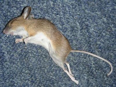 Las aventuras de petoulqui porque el p blico lo ha - Comida para ratones ...