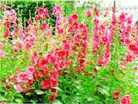 Fairyyukiheart jardin de hadas for Malvarrosa planta