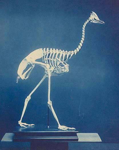 Cassowary skeleton