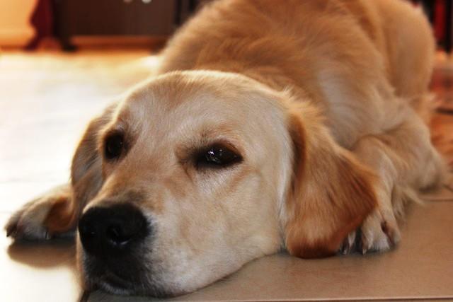 en son sevdiğim köpek elimi ısırdı nalet olsun sevmiyorum köpek ... Golden Retriever And Baby
