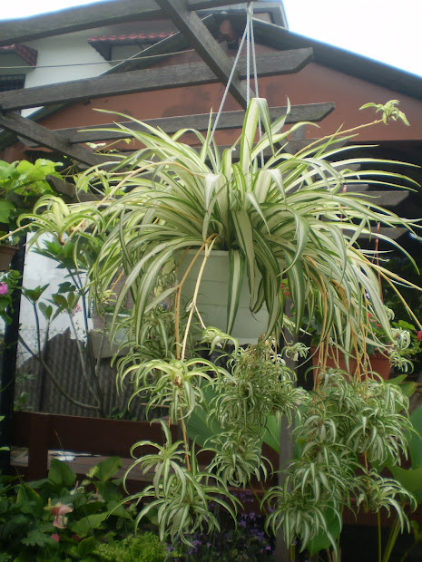 in. garden hybrid