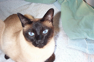 Jasper, Carolyn's Tonkinese Cat