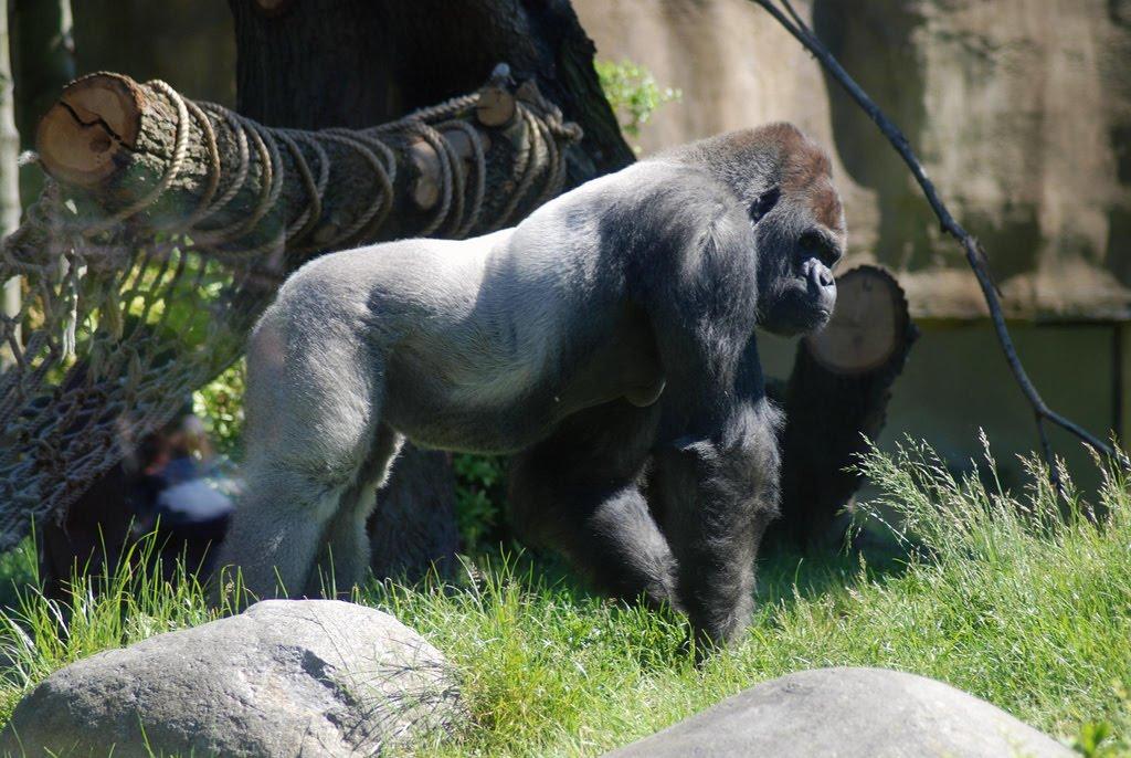 silverback gorilla attack