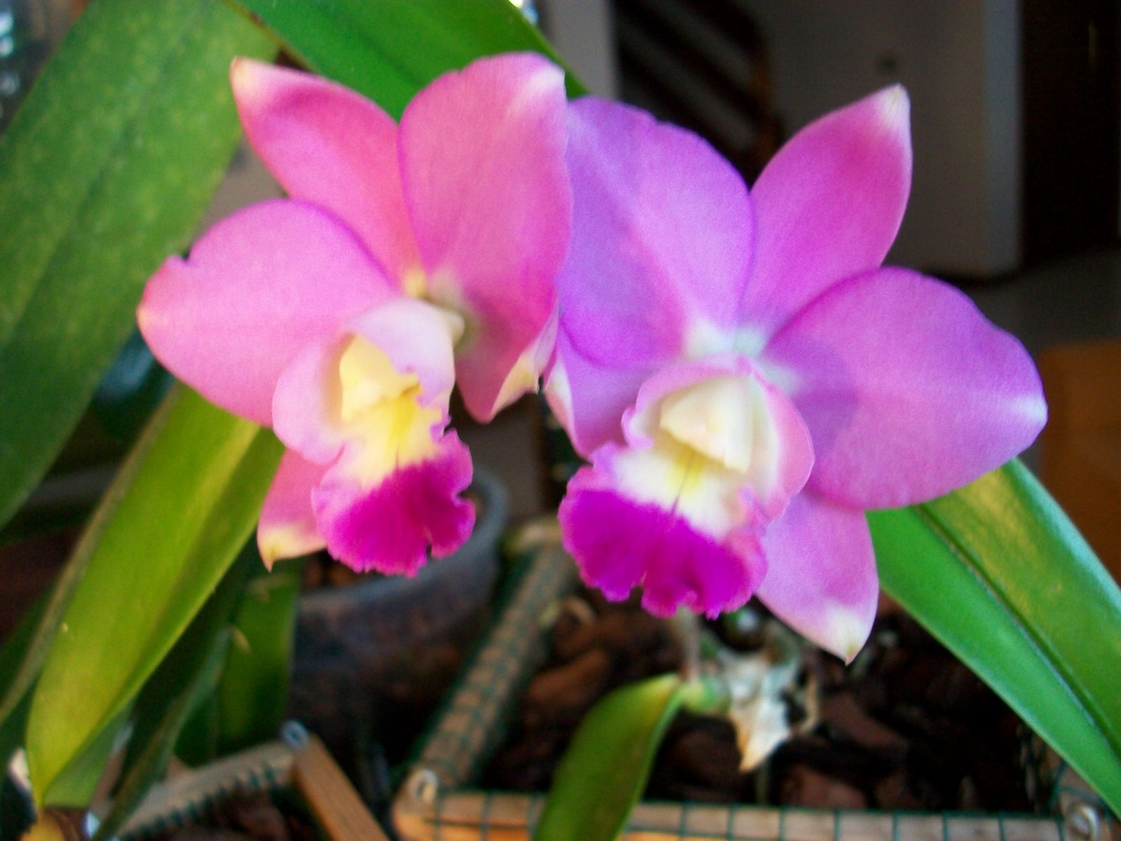Le orchidee di antonia cattleya ibrido for Le orchidee