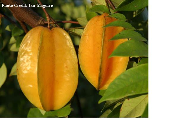 Carbohidratos fibrosos como act an algunas frutas y - Frutas diureticas y laxantes ...