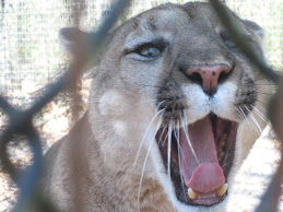 Florida Panther at Tallahassee Museum