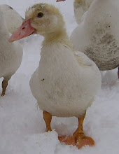 Muscovy duckling in the snow