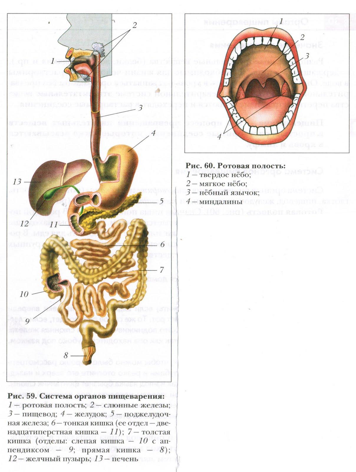 Схема внутренних органов пищеварения