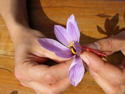 Fleur de safran du quercy