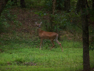 This is a picture of a medium sized doe that was crossing my front yard.  The doe is standing in a wooded area between several trees on top of beautiful green grass.