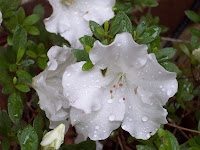 This is a picture of white flowers with water droplets on them.