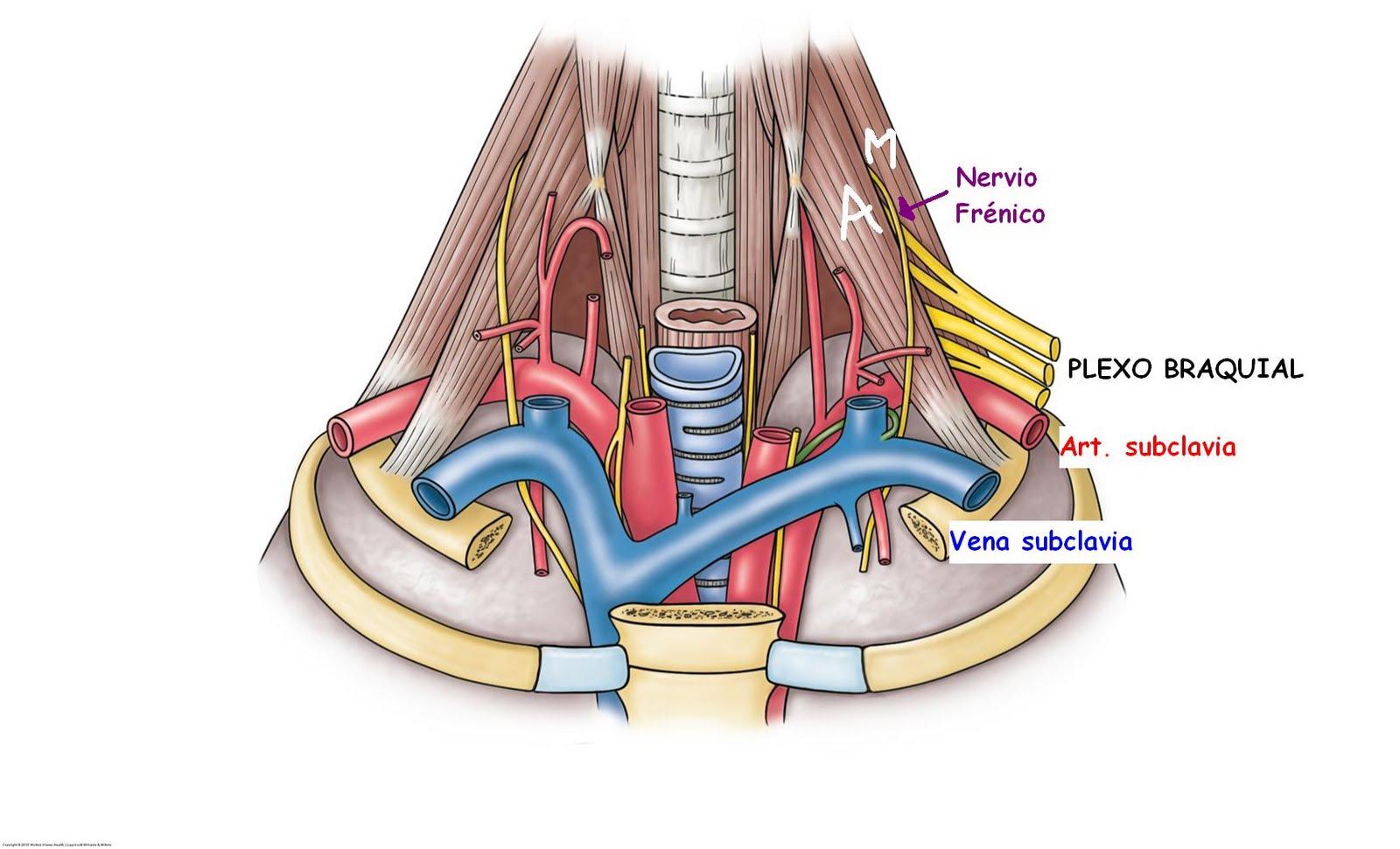 Anatomía UNAM: Relaciones Neurovasculares de los M. escalenos