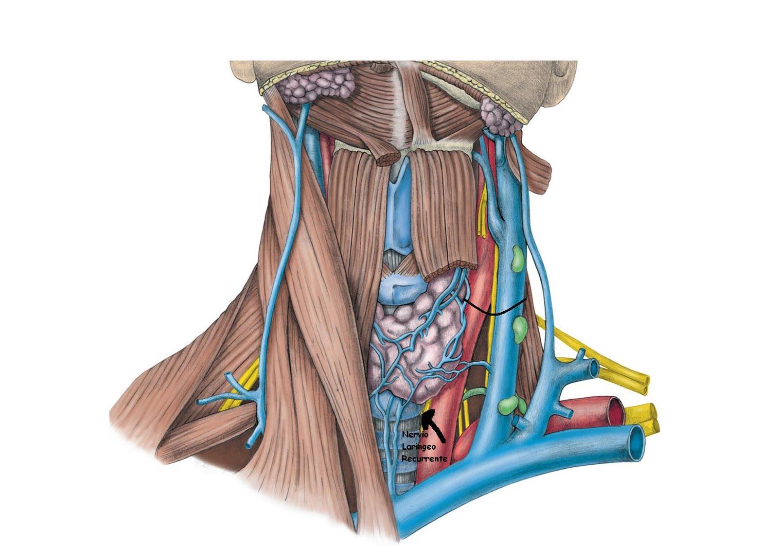 Anatomía UNAM: Relaciones de la Glándula tiroides