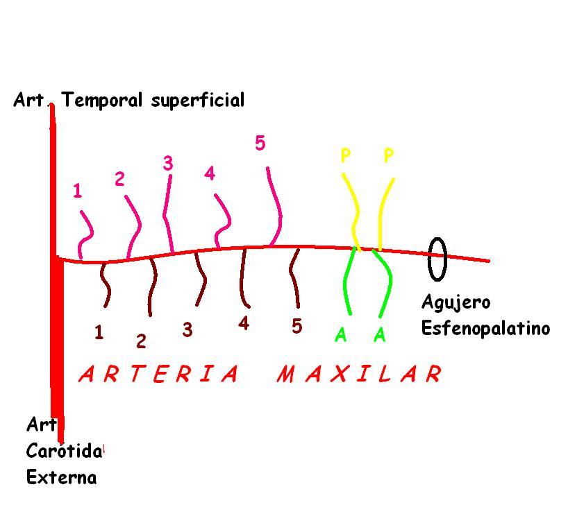 Anatomía UNAM: Arteria maxilar: ramas