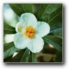 A Blossom on the Franklinia Alatamaha