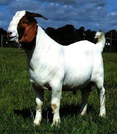 A Pure Boer Buck