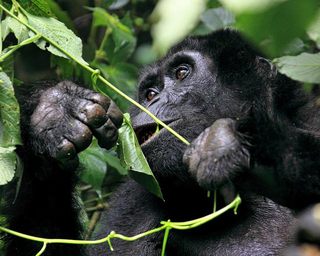 Gorillas Eating Wild mountain gorilla eating