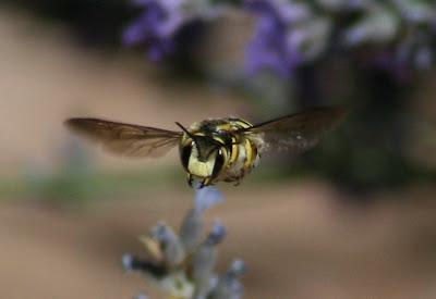 Notas de campo y jard n la abeja territorial for Ahuyentar abejas jardin