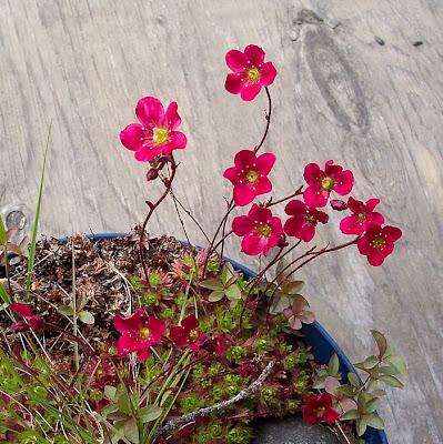 Red Saxifrage