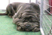A Neapolitan Mastiff at Discover Dogs yesterdaya big winner in the .