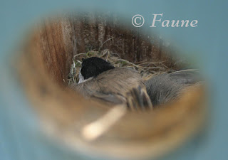 Chickadees in box 1 week later