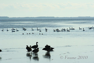 Waterfowl Currituck Sound