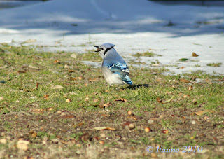 Currituck Blue Jay