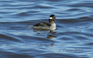 Bufflehead Currituck Sound