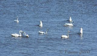 Swans feeding Currituck Sound