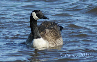 Canada Goose Currituck Sound