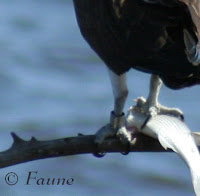 Banded Osprey with fish Currituck Sound