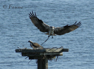 Osprey with stick Currituck Sound