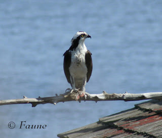 Osprey with Fish Currituck Sound