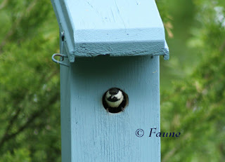 Chickadee at box