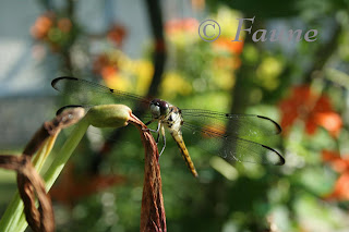 Dragonfly with lilies