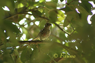 Young finch