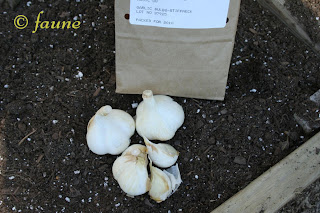 Garlic for Planting
