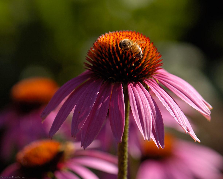 Purple Coneflower Wallpapers: TEST: Coneflower / Bee Interaction
