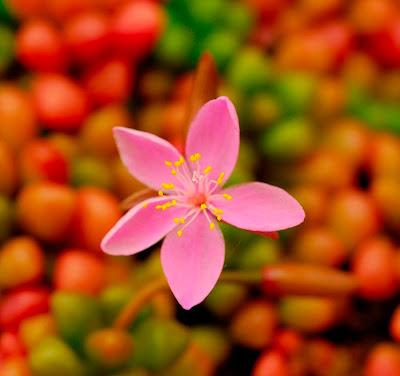 imagen la flor de la alegria