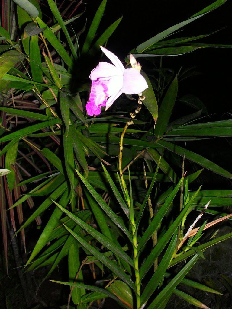 Engels Secret Garden Bamboo Orchids Arundina Gramnifolia