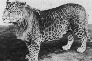 Jaglion and leopon pictures in Lion vs Tiger Discussion Forum