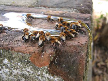 Jandaíras coletando mel derramado